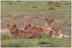 Lions - Leeuwen (Panthera leo) (Martha de Jong-Lantink) Tags: 2011 janvermeer kenia kenya maasaimara safari lion lions leeuw leeuwen pantheraleo