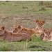 Lions - Leeuwen (Panthera leo)