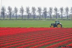 2015-04 Tulpen op Goeree - kleurrijk spectakel (Melissant) (About Pixels) Tags: 0419 2015 april bloemen collecties fauna goeree melissant mnd04 natuur nederland netherlands nld provinciezuidholland tulpen landschap polder akker bloementeelt tulips flowers rood red lenteseizoen landscape field zuidholland