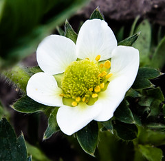 Strawberry (scuthography) Tags: white flower yellow cake photo spring strawberry foto ngc strawberrycake 2015 flickrglobal kathrinschild