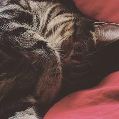 Skönt sovande katt. (ulricalyhnakis) Tags: