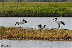 Ibis in risaia (alfvet) Tags: nature birds nikon natura uccelli ibis lomellina risaie veterinarifotografi