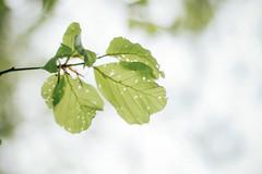 Blattwerk (claudiarndt) Tags: backlight leaf blatt baum beech gegenlicht buche beechleaf buchenblatt