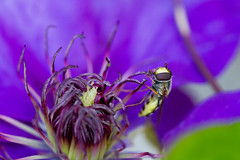 2015 - 365 Project 393 (GTB.photographic) Tags: insect fly purple clematis purpleflower hoverfly purpleclematis
