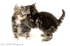 Kittens at play (Suez77) Tags: fur feline tabby kittens purr meow purrfect