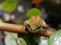 Lord of the pond (TJ Gehling) Tags: amphibian frog elcerrito treefrog chorusfrog pseudacris pacifictreefrog pseudacrisregilla pacificchorusfrog canyontrailpark