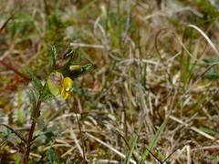 Rhinantus minor (pflanzenblick.de) Tags: yellow meer little makro blte kleiner rattle kste klappertopf