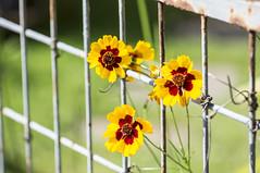 Mdchenauge Blume (milance1965) Tags: sony gelb gelbeblume mdchenauge sonya55