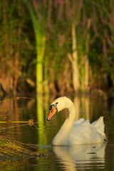 Hckerschwan (Teflonjochen) Tags: swan wildlife birding 500mm schwan neckar ludwigsburg hckerschwan nikond300 nikon200500