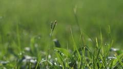 Morning Dew (bamboosage) Tags: auto yashinon 50 14 m42