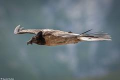 Jeune Gypate barbu (Quentin Douchet) Tags: beardedvulture faune gypaetusbarbatus gypatebarbu nature parcnationaldescrins animal bird fauna juvenile oiseau parcdesecrins