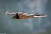 Jeune Gypaète barbu (Quentin Douchet) Tags: beardedvulture faune gypaetusbarbatus gypaètebarbu nature parcnationaldesécrins animal bird fauna juvenile oiseau parcdesecrins
