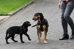 greetings junior! (RCB4J) Tags: art dogs fun photography labrador retriever pup greeting babygrace universityofglasgow guvs garscubeestate sigma150500mmf563dgoshsm siameselurcher dobermanterrier ronniebarron rcb4j sonyilca77m2