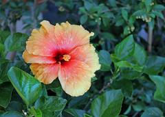 Dans mon jardin (hans pohl) Tags: portugal aldeia meco sesimbra fleurs flowers nature plantes