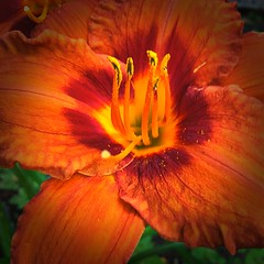 Day Lily Macro (CCphotoworks) Tags: iphone outdoors nature details pretty singleflower july summer garden perennials lily daylily orangecolour deeporange macroflowers flower