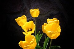 Toronto Ontario ~ Canada ~ Edwards Botanical Gardens ~  Yellow Tulips (Onasill ~ Bill Badzo) Tags: botanical don mills attraction tours walking flower stamen sunburst wildflowers wilket creek river branch onasill rupert e gta metro bus must see flickr escape 18250mm macro sigma canon rebel eos sl1 d100 petals plant outdoor serene black background surreal circle border round tulips toronto cluster blossom bright bubbles reflections pistil food pastel red rays 1001nights beta bokehs on ontario edwards gardens 1001nightsmagiccity