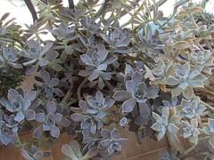 Echeveria pumila (andaluza catalana) Tags: hospital972016 echeverapumila barandadehierro jardinerapublica cactus tejado cielo lluvia nubes rbol arboledas arboles gossos gos perro nubesblancas olivo