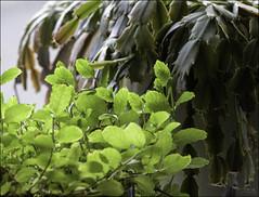 197 - On The Windowsill (North Light) Tags: light plants town windowsill