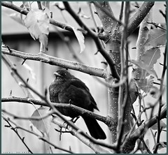 Roosting Blackbird on a Winter Evening  II (fotograf1v2) Tags: blackbird eveningroost callorypeartree ornamentalpeartree deciduoustree winter bw greyscale monochrome pakenham victoria australia fence