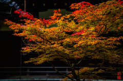 Summer Red Leaves  (Gorei Shrine) -  (snakecats) Tags:     kyoto   shintoshrine shrine   goryoshrine kamigoryoshrine   red orange