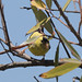 BL4A8623.jpg American Goldfinch, Harkins Slough