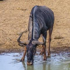 Blue Wildebeest_02392-20151021 (C&P_Pics) Tags: cac kumasingahide mkuze southafrica2015 bluewildebeest stluciapark kwazulunatal southafrica za