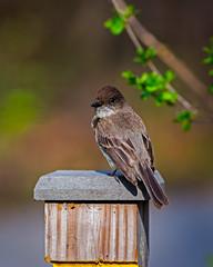PhoebeSignpost (jmishefske) Tags: wehr phoebe wisconsin nikon park whitnall nature bird d800e center 2015 milwaukee may franklin eastern