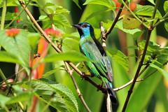 Dacnis cayana (mazama973) Tags: virdbirds aves frenchguiana oiseaux dacniscayana dacnisbleu bluedacnis thraupidae
