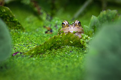 Just Popped Up to say Hello! (jc's i) Tags: frog