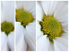 Close, closer (sorinuka) Tags: details blur collage yellow pollen canvas closer whiteflower flower white sorinuka macrolens iphonelens iphonese macro closeup close