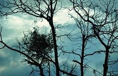 ainda  inverno... da minha janela! (Ruby Ferreira ) Tags: winter sky branches silhouettes cu inverno galhos silhuetas
