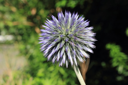 """Kugeldisteln (Echinops) (1) • <a style=""""font-size:0.8em;"""" href=""""http://www.flickr.com/photos/69570948@N04/28354765271/"""" target=""""_blank"""">View on Flickr</a>"""