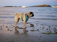 Bennett Enjoying Minot Beach (Pak T) Tags: beach bennett dog ocean olympusmzuiko25mmf18 pug sea shore