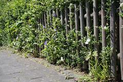 ckuchem-3591 (christine_kuchem) Tags: blte brgersteig garten gehweg glockenblumen hecke liguster naturgarten spontanwegetation zaun naturnah natrlich