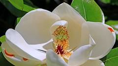 Flower of Magnolia Tree (jaytee27) Tags: southernmagnolia naturethroughthelens