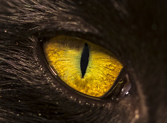 Eye of the Kitty (gotmyxomatosis69) Tags: kitten kitty cat feline pet animal eye eyeball iris cateye eyeofthetiger canon 100mm macro teamcanon macrophotography macropic eyephotography outdoor