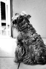 (Mni Cabrera) Tags: fotografa photograph photo pet dog snauzer perro