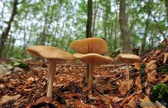 Xerula-radicata (Lucas Gutirrez) Tags: xerularadicata oudemansiella hayedo hbitat abruzzo molise italia funghi hongos granadanatural lucasgutierrezjiimenez