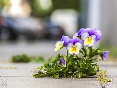 Life in the Streets (biogenie1) Tags: stiefmtterchen strase viola makro blumen blten pflanze brgersteig