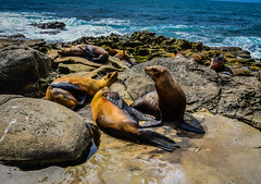 California Sea Lions at Point La Jolla - San Diego CA (mbell1975) Tags: sandiego california unitedstates us sea lions point la jolla san diego ca cal calif usa america american lajolla coastline coast pacific ocean cove sealion sealions seal seals rock rocks formation water