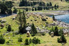 Elles occupent le meilleur emplacement du lac (alainlecroquant) Tags: montagne lac pyrnes nouvielle oule bastan infrieur suprieur milieu barrage artigusse parking vache cheveaux refuge refugedebastan