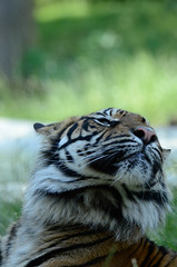 Sumatran tiger (mellting) Tags: djurparker eskilstuna parkenzoo platser sigma1506005063sport flickr instagram matsellting mellting nikon nikond7000 obloggad sverige sweden tiger sumatrantiger sumatratiger pantheratigrissumatrae zoo animal mammal bigcat