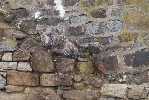 Jeunes goélands argentés (Larus argentatus)