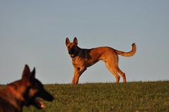 DSC_0768 (IN CANIS SPERAMUS) Tags: belgianshepherd malinois dog dogtraining puppy servicedog dogtrainer incanissperamus
