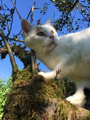 Penny looking (heinzstrobel1) Tags: cathunting jagen katzejagt funnycat sweetcat nice catontree tree cat katze penny