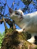 Penny looking (heinzstrobel1) Tags: cathunting jagen katzejagt funnycat sweetcat nice catontree tree cat katze penny