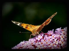 startklar (karin_b1966) Tags: schmetterling butterfly garten garden natur nature 2016 distelfalter yourbestoftoday