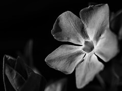"Macro Mondays ""Flower(s) In Black & White"" (Michael J P) Tags: macromondays flowersinblackwhite explored"