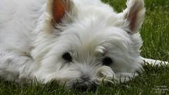 Westie Emma resting on her grass. (tommillerphotographer1) Tags: westhighlandwhiteterrier animalphotos sleepyhead animalphotography cute relaxing photography caninecompanion sleepy westie canine dog