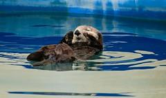 Sea Otter Resting Seward Marina Seward Alaska USA North America (eriagn) Tags: reflections boatreflections paint pontoons sea salt wateralaskawildlifefurrycutefloatingrestingdozingngaire hartngaire lawsoneriagnwildlifemarinemammalweaselwater abstract pattern